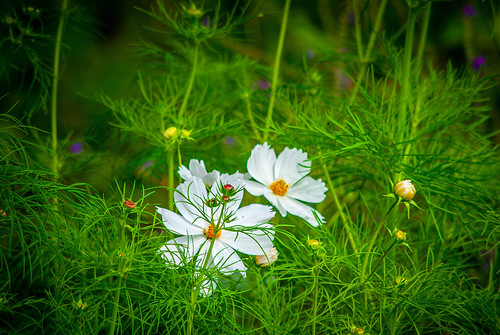 White Flowers in a Field | by mikemac29
