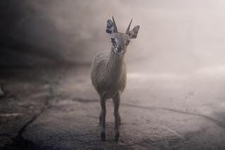 Dallas Zoo - Klipspringer