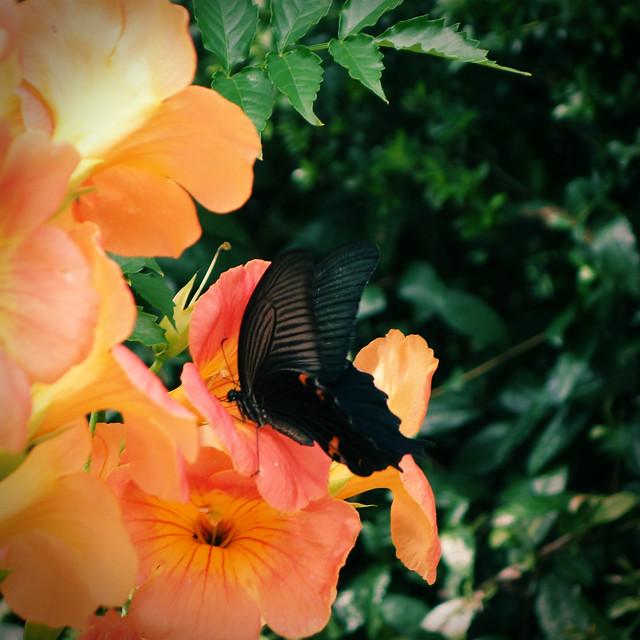 Spangle butterfly