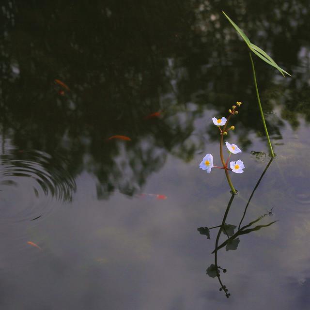 Sagittaria latifolia in the pond