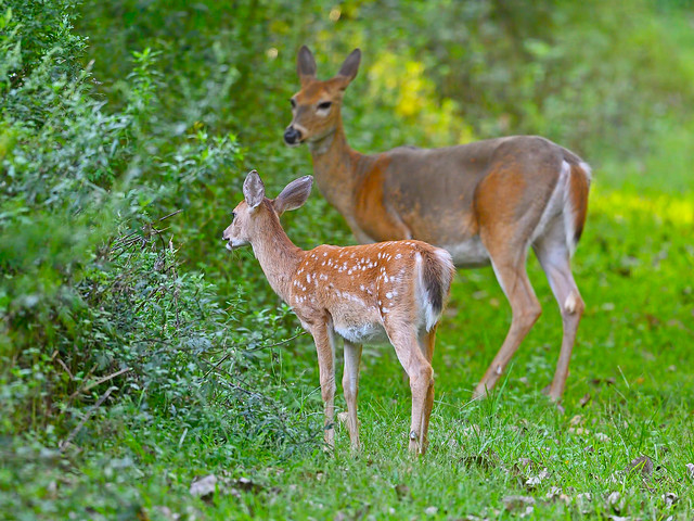 Fawn and Mother Deer