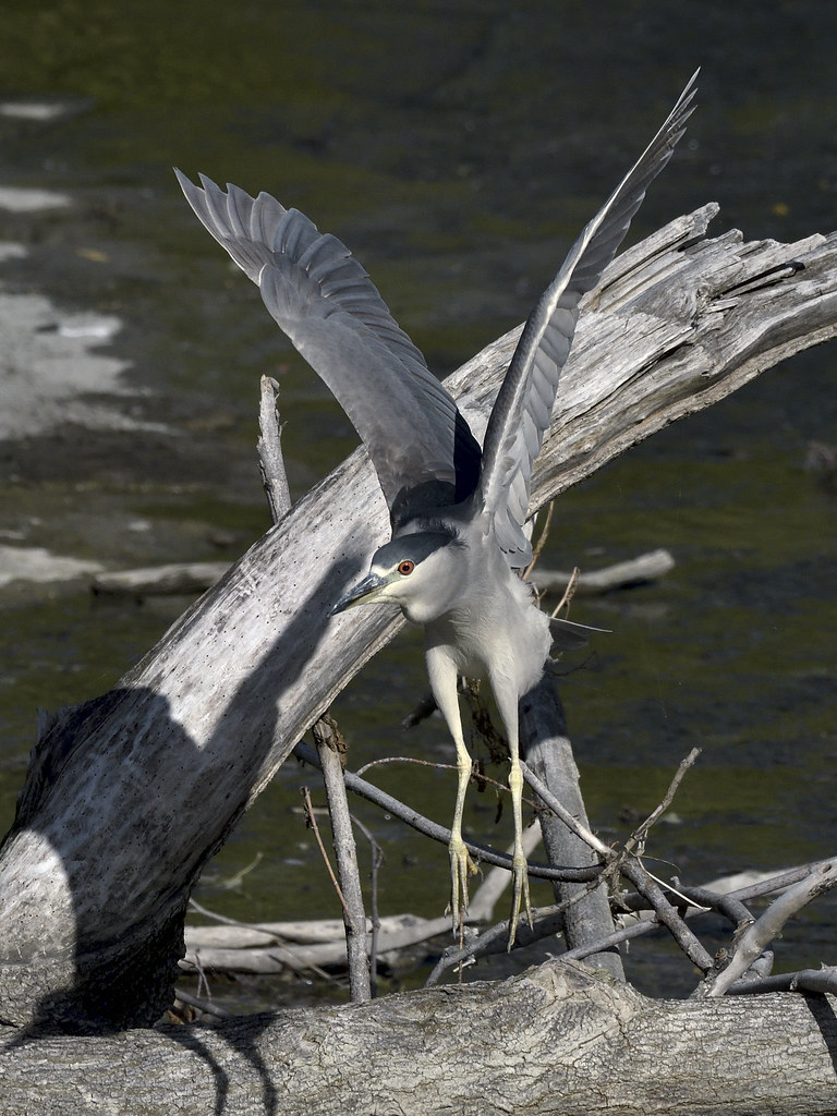 Bihoreau gris --- black-crowned night heron --- Martinete común