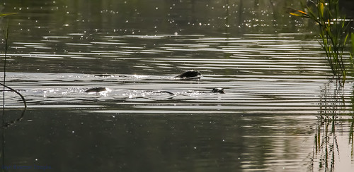 3 Otters swimming across the culvert.