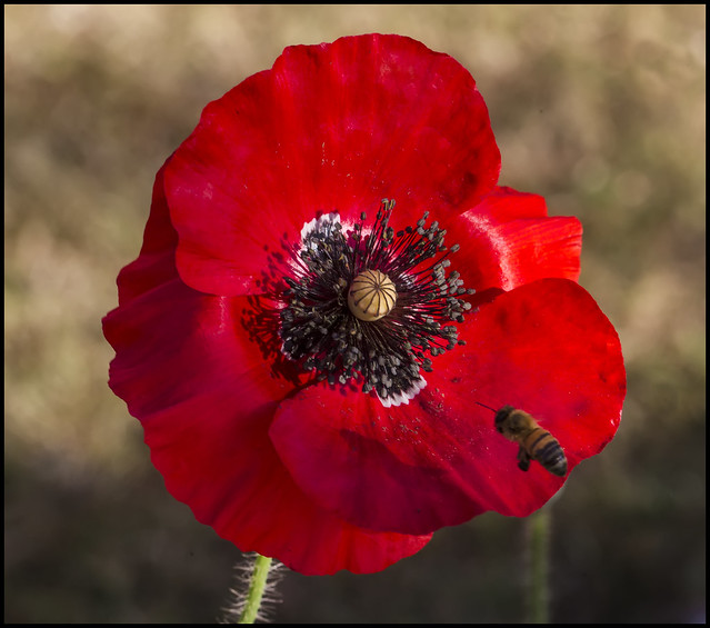 Another Remembrance Poppy and Bee-2=