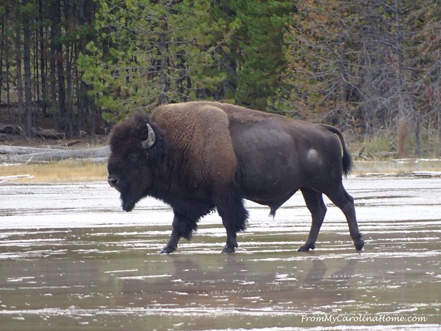 Wildlife Adventures at Yellowstone | FromMyCarolinaHome.com