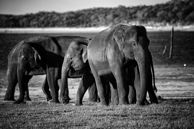 Wild Sri Lankan Elephants