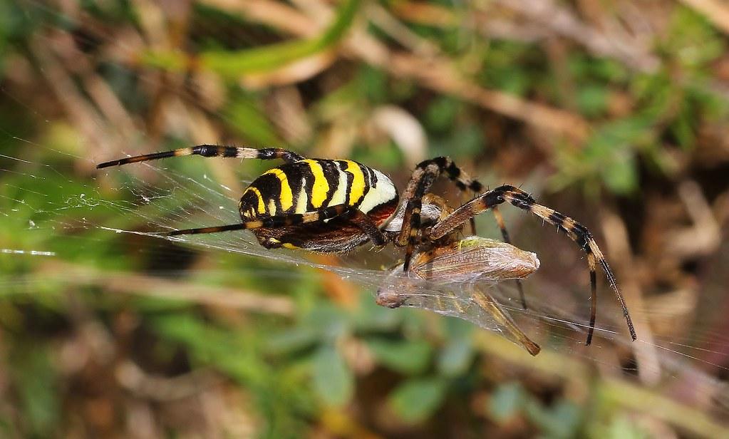 Wasp Spider - Argiope bruennichi 130919 (4)