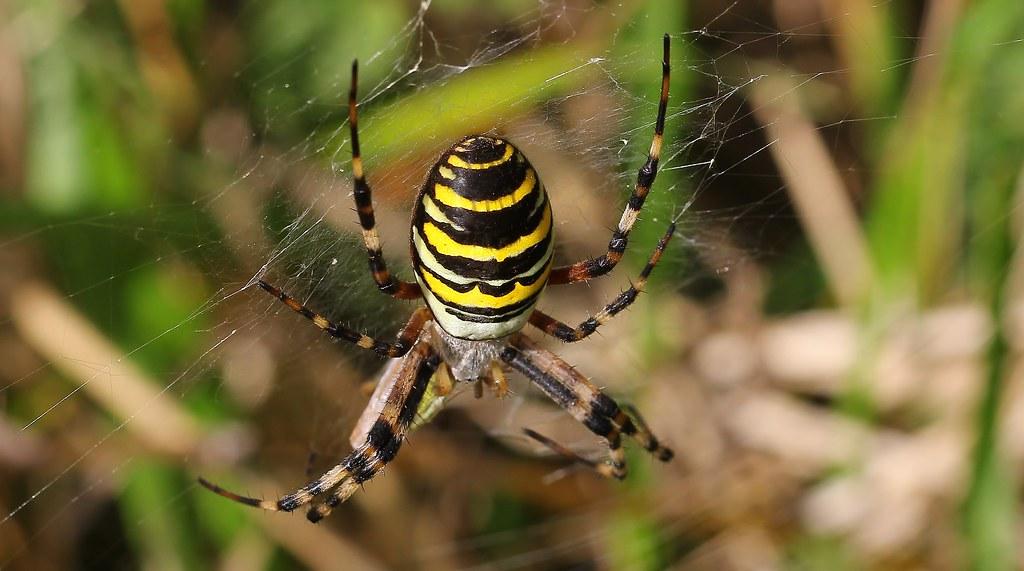 Wasp Spider - Argiope bruennichi 130919 (1)