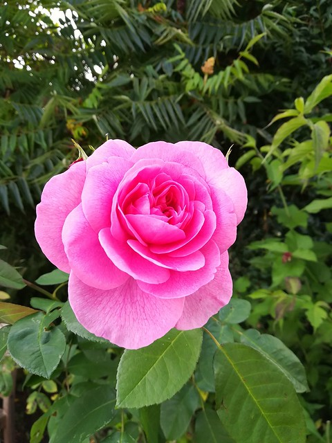 Fragrant Rose, still giving us pleasure in early Sept.