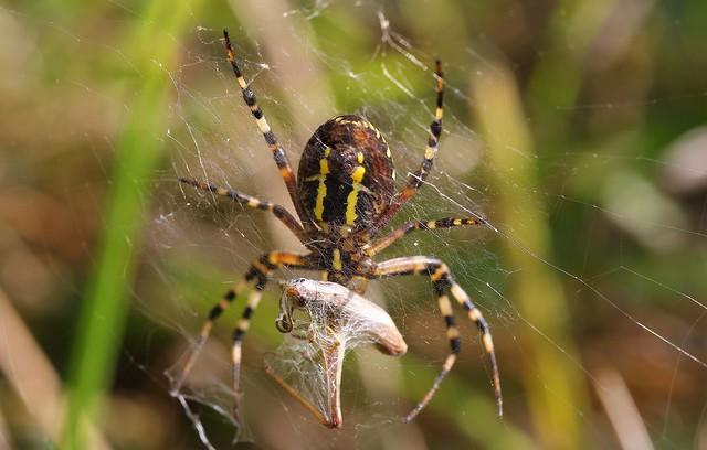 Wasp Spider - Argiope bruennichi 130919 (2)