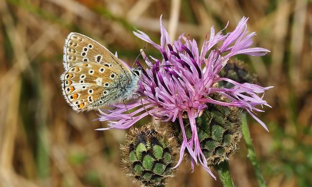 Adonis - Polyommatus bellargus 130919 (6)
