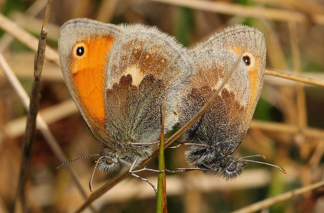 Small Heath (Mating)130919