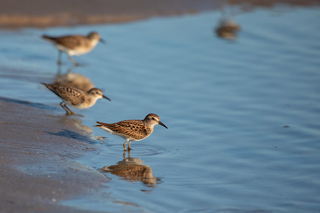 sandpipers-8797