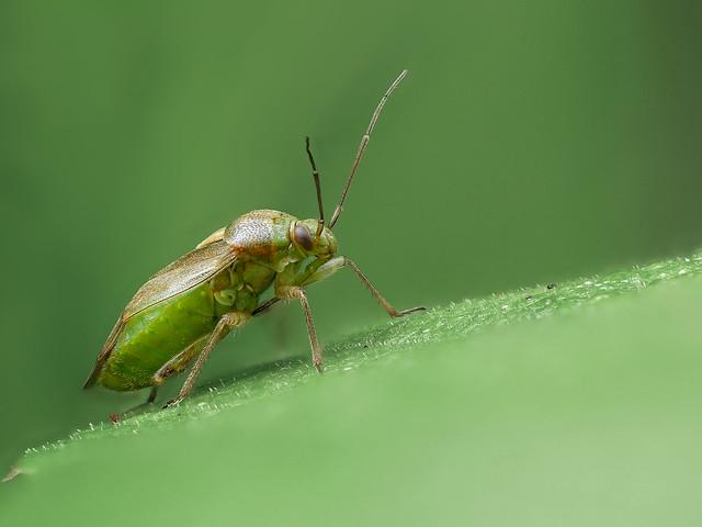 Wanze | True Bug