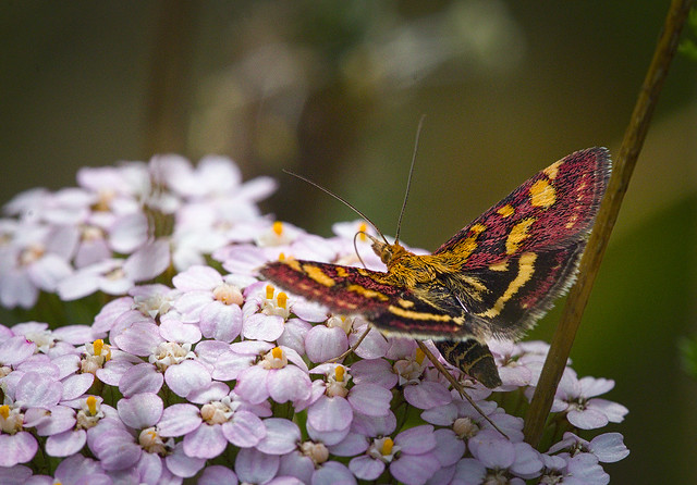 Scarce purple and gold