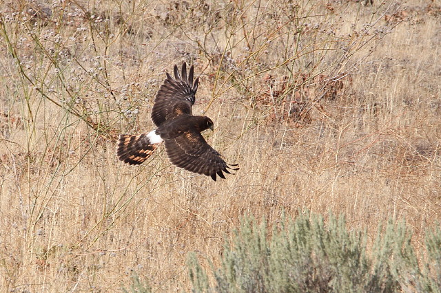 Northern Harrier, Circus hudsonius