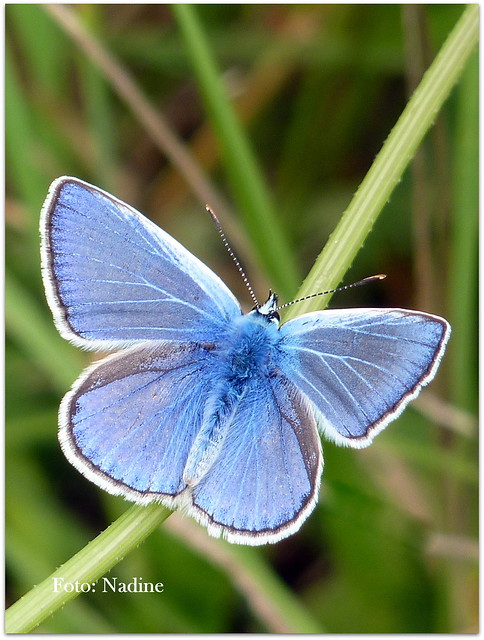 Showing off: Male Common Blue Butterfly