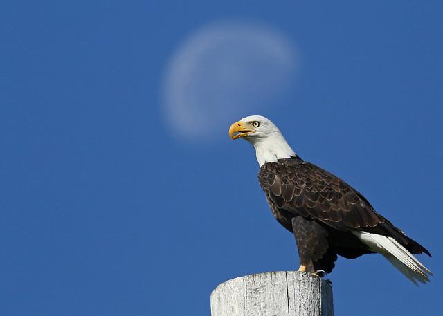 Bald Eagle...#2