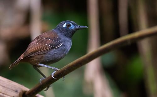 Poliocrania exsul - Chestnut-backed Antbird - Hormiguero Dorsicastaño 05