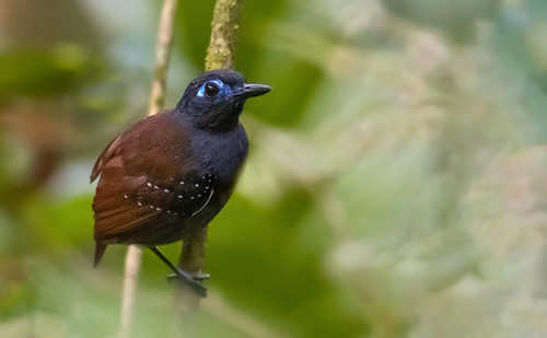 Poliocrania exsul - Chestnut-backed Antbird - Hormiguero Dorsicastaño 04