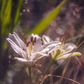 Remembering the Lilly dreams