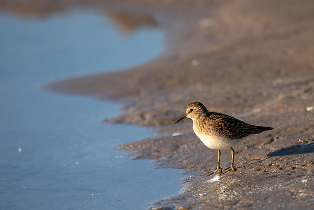 sandpipers-8833