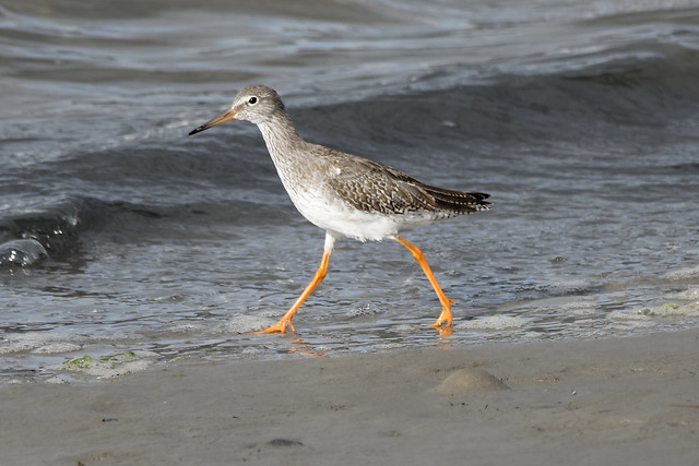 Redshank in the evening