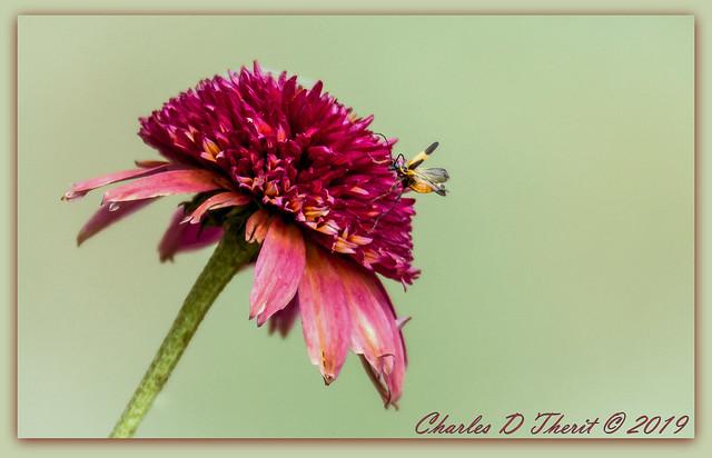 Boxelder Bloom