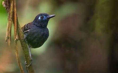 Poliocrania exsul - Chestnut-backed Antbird - Hormiguero Dorsicastaño 06
