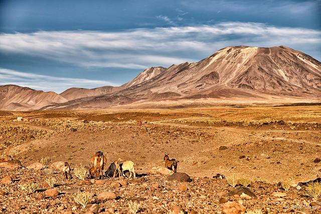 Goats under Laskar volcano