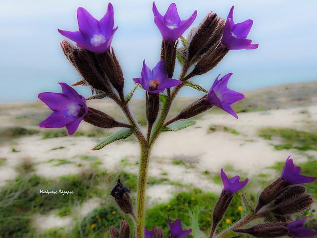 1_Anchusa undulata