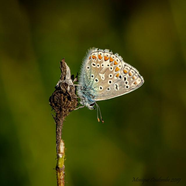 Papillon Argus bleu - Common blue Butterfly