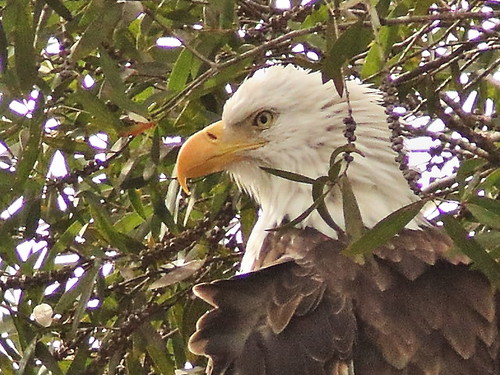 Bald Eagle female Jewel portrait 04-20190914