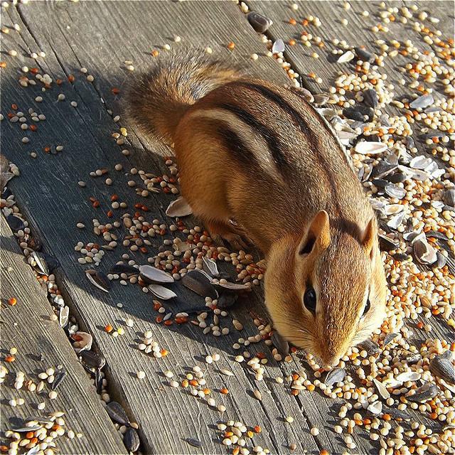 Chipmunk on the Deck