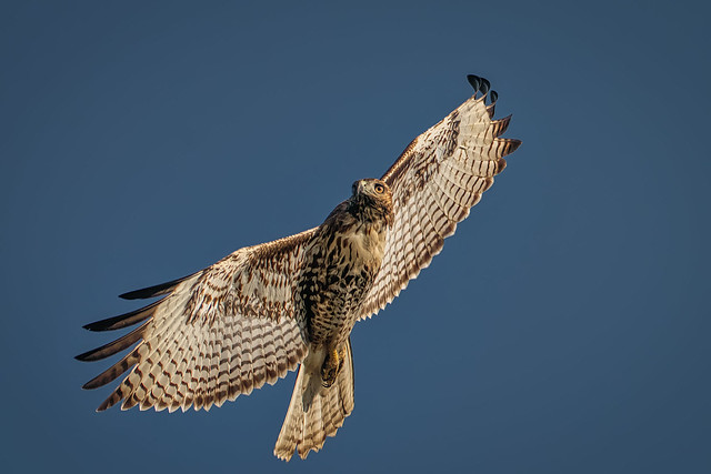 The beginning of the turn (red-tailed hawk)