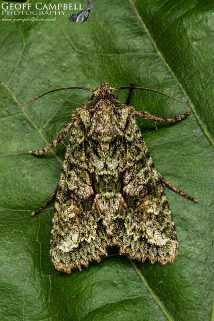 Brindled Green (Dryobotodes eremita)