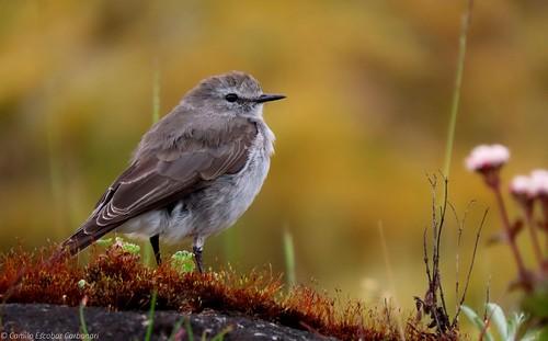Plain-capped Ground-tyrant - Muscisaxicola alpinus - Dormilona Gris