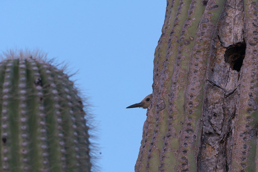 A male Gila woodpecker peeks out of his nest in a saguaro in the blue light before sunrise along the Jane Rau Trail in McDowell Sonoran Preserve in Scottsdale, Arizona in April 2019
