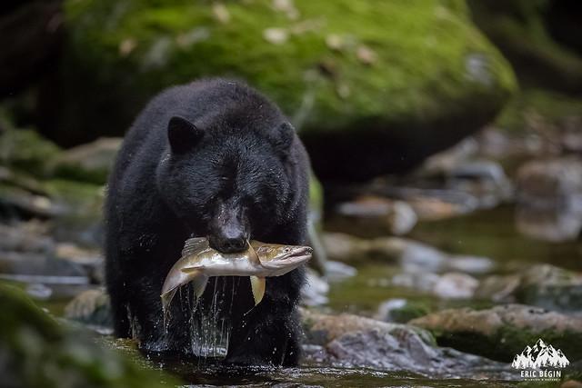 Ours noir (spirit) / Black Bear