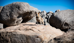 Ikaria/Ικαρία - Dog on the rocks