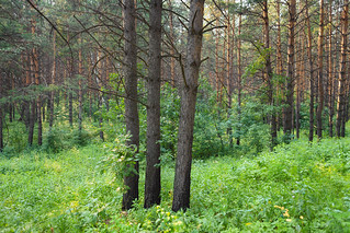 Trees in Siberian pine forest