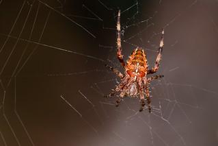 garden cross spider - araneus diadematus
