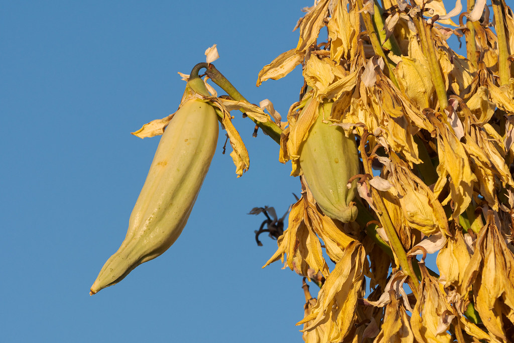A close-up of the fruit of medium-sized banana yucca fruits growing along the Latigo Trail in McDowell Sonoran Preserve in Scottsdale, Arizona in April