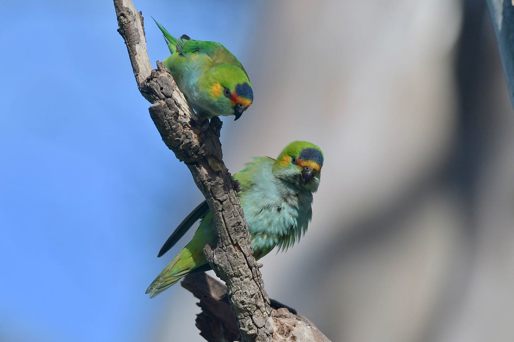 Purple - crowned Lorikeets ( we can work this out )