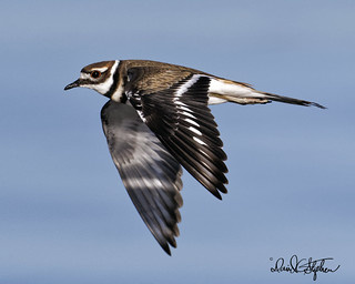 Killdeer Flies Close | by dcstep