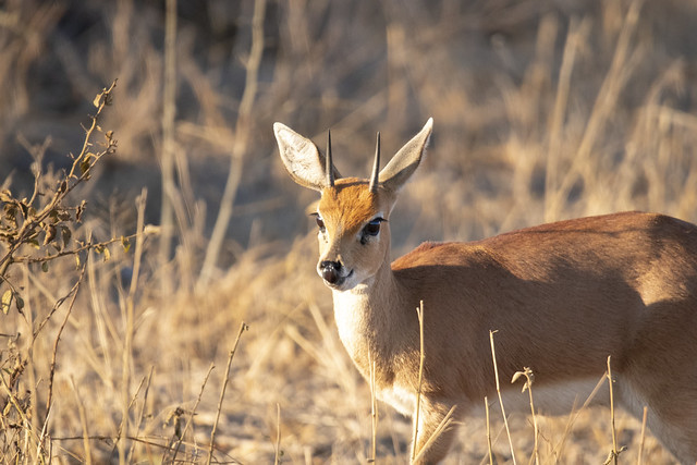 a beautiful little steenbok munching his way through the bush, licking his lips at the next set of stalks. Elephant Plains Game Lodge, Sabi Sands Game Reserve, Kruger National Park, South Africa.