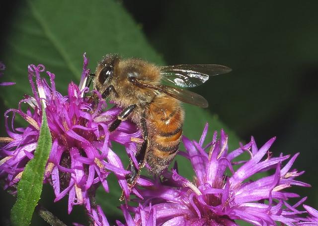 Honey Bee Feeding On Tall Ironweed Flowers Super Macro DSCF2353