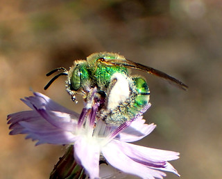 Striped Sweat Bee (Agapostemon texanus)
