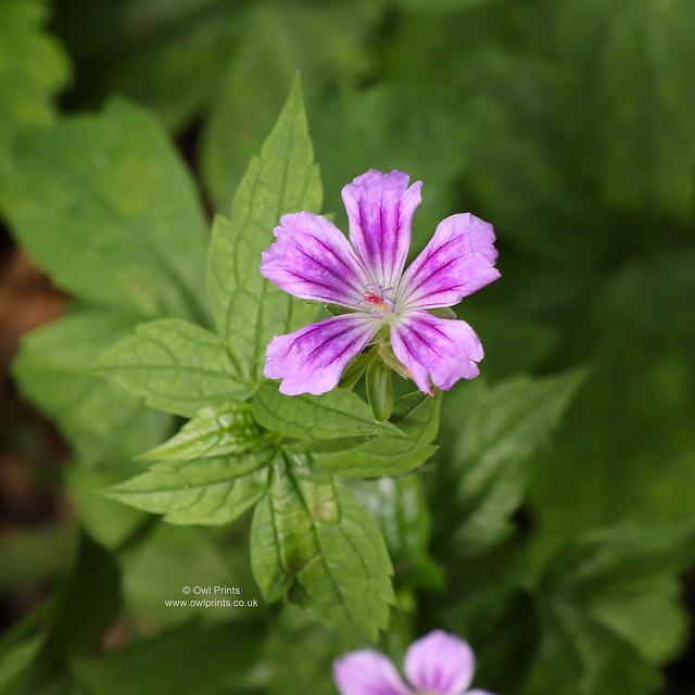 Geranium nodosum 'Swish Purple'