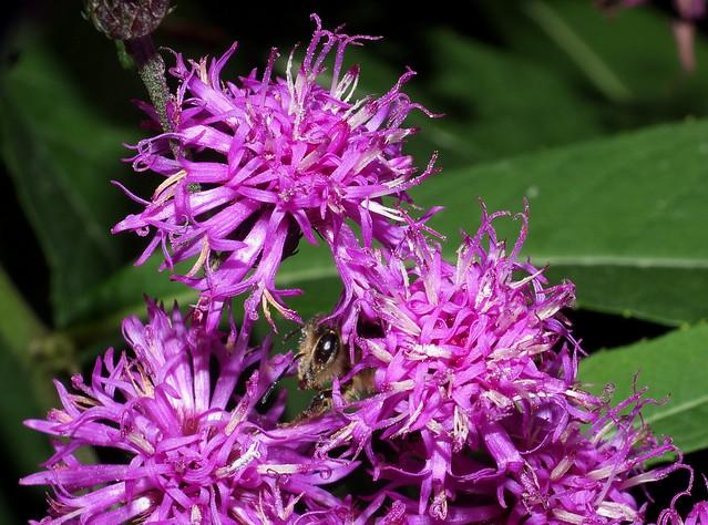 Honey Bee In Between Tall Ironweed Flowers Super Macro DSCF2340